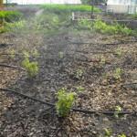 növény és fenyőkéreg pótlás előtt
